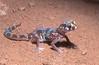 Marico gecko, Pachydactylus mariquensis latirostris, Namaqualand, South Africa.