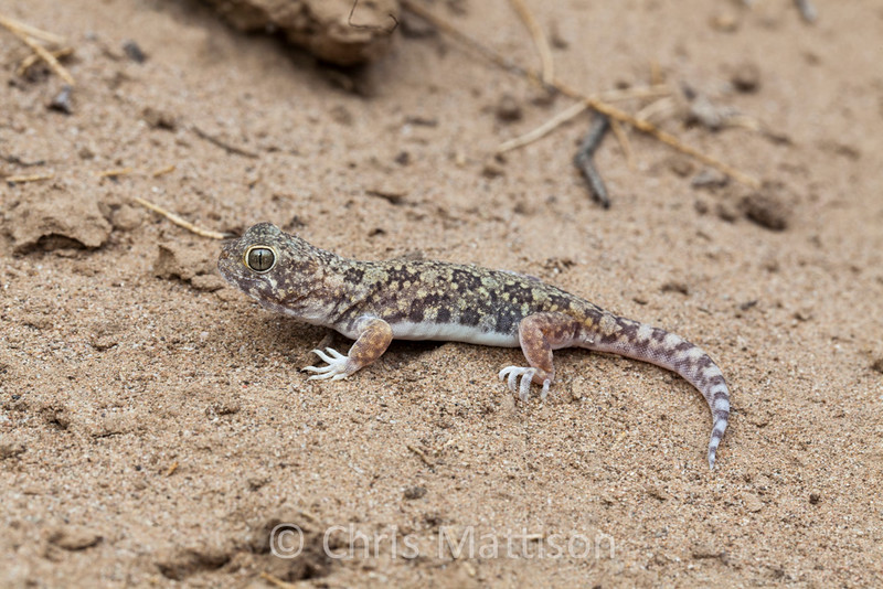 Common barking gecko, Ptenopus garrulus, Port Nolloth, South Africa.