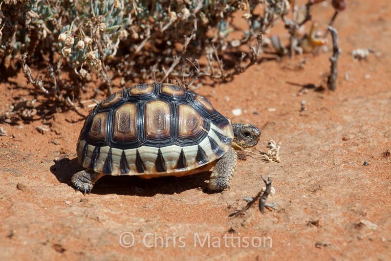 Angulated tortoise, Chersina angulata, Namaqualand, South Africa