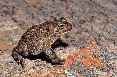 Karoo toad, Vandijkophrynus gariepensis, Kamieskroon, South Africa, formerly Bufo gariepensis