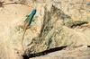 Augrabies flat lizard, Platysaurus broadleyi, Augrabies Falls National Park, South Africa