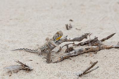 Common barking gecko, Ptenopus garrulus, male, Port Nolloth, South Africa