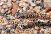 Namib sand snake, a subspecies of the fork-marked snake snake, Psammophis leightoni namibensis.