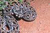 Many-horned adder, Bitis cornuta, Namaqualand, South Africa