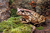 Ranger's Toad or raucous toad, Amietophrynus rangeri, formerly Bufo rangeri, Clanwilliam, South Africa
