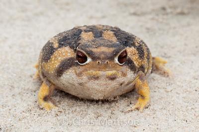 Namaqua rain frog, Breviceps namaquensis, Port Nolloth, South Africa.