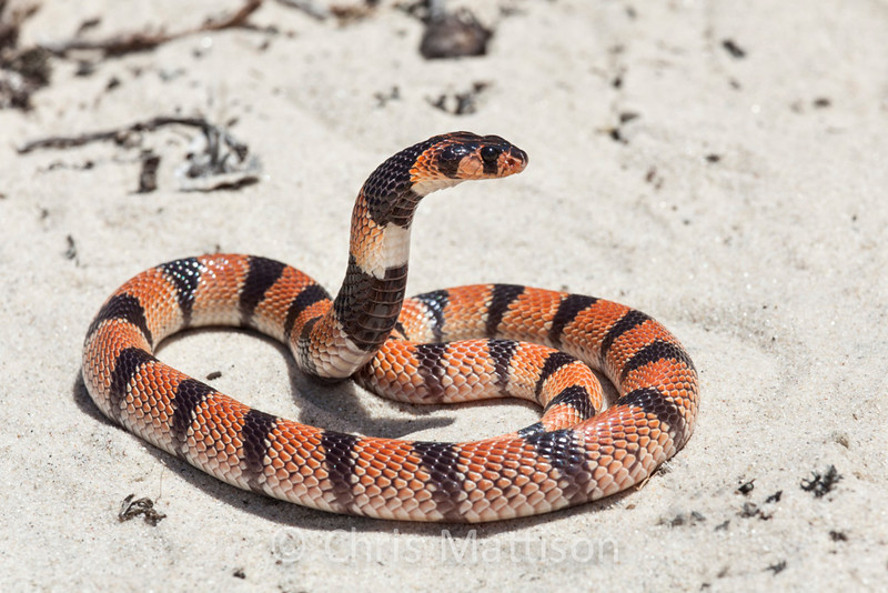 African coral snake, Aspidelaps lubricus, Springbok, South Africa