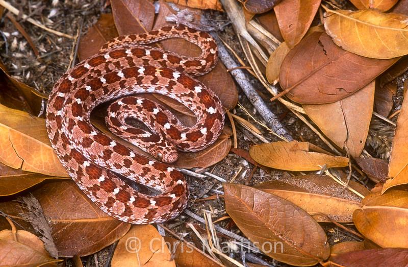 Common, or rhombic, egg-eating snake, Dasypeltis scabra, rare reddish form, Pofadder, South Africa