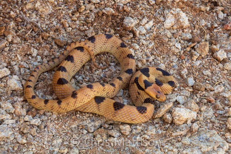 Namib tiger snake, Telescopus beetzii, Springbok, South Africa
