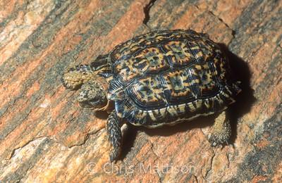 Speckled padloper, Homopus signatus, the world's smallest tortoise species.  Namaqualand, South Africa.