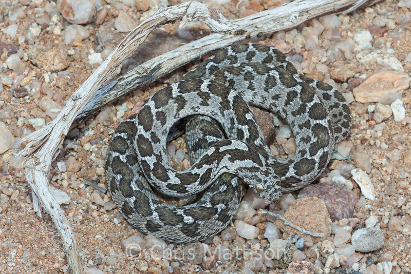 Common, or rhombic, egg-eating snake, Dasypeltis scabra, near Springbok, South Africa