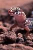 Marico gecko, Pachydactylus mariquensis latirostris, Namaqualand, South Africa