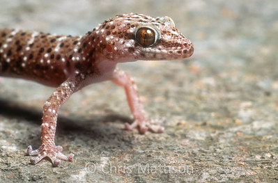Cape thick-toed gecko, Pachydactylus capensis, Namaqualand