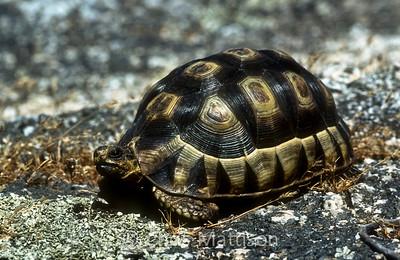 Angulated tortoise, Chersina angulata, Cape of Good Hope Nature Reserve, South Africa