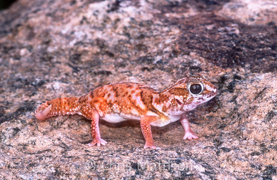 Giant ground gecko, Chondrodactylus angulifer, Namaqualand, South Africa.