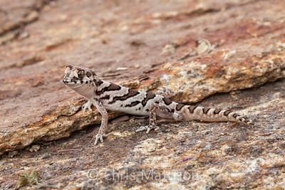 Marico gecko, Pachydactylus mariquensis latirostris, Springbok, Namaqualand, South Africa