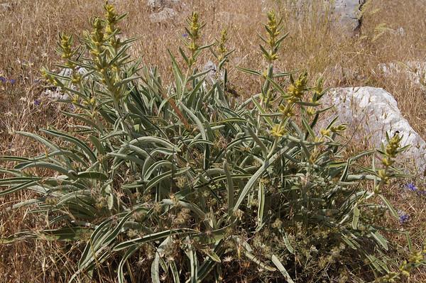 Nif Dağı flora