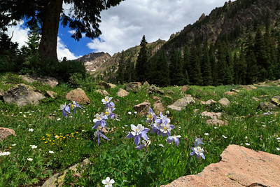 Colorado Columbine, Booth Falls trail