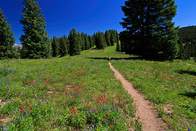 Wildflowers along Ridge Route trail, Vail Mountain