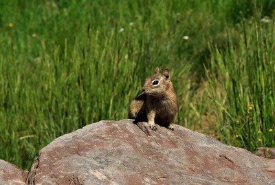 Chipmunk, Ptarmigan Loop trail, Vail Mountain