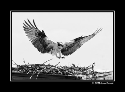 May 5th,  Took a little walk at lunch today with the camera.  It was bright and not really the best conditions for taking photos.  I did end up with  a few shots that I liked.  For some reason Osprey's like to build nests on top of old duck blinds.  This girl came in for a perfect landing!