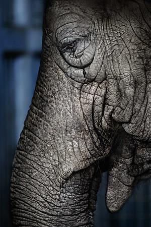 "Elephant - 30x45"" metal display, ready to hang - $1500"
