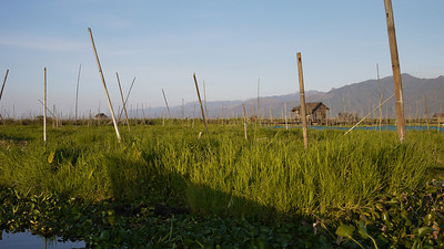 The tall sticks hold the floating gardens in place on Inle Lake, Burma (Myanmar).