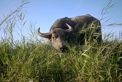 A giant water buffalo is out for his late afternoon snack and a stroll in Inle Lake, Burma (Myanmar).