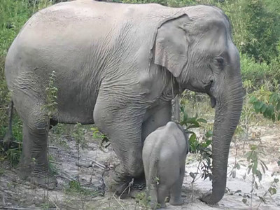 A short clip of what the mom and baby elephant do--it's not really so much!