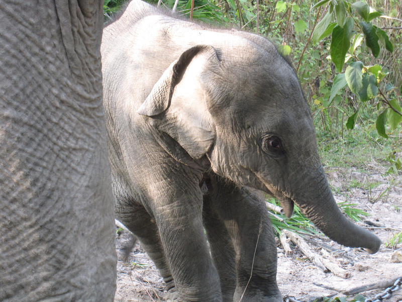 The two month old baby elephant.