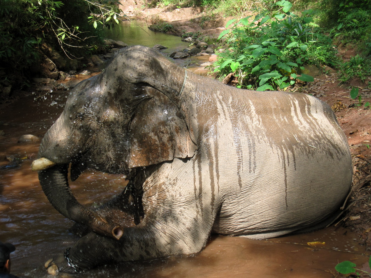 The bull elephant bathing in the river