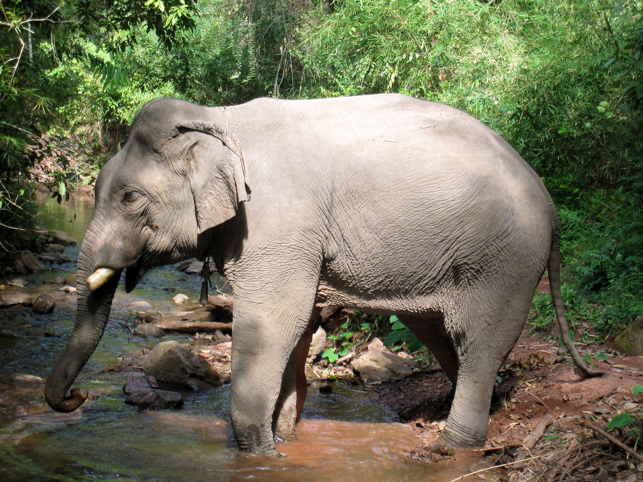 This is a bull elephant standing in the river right before his bath.