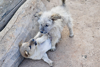 Wrestling puppies in Maejantai village, Thailand.