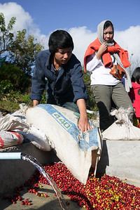 Lee dumps the picked coffee cherries so they can be processed through and husked by a large machine nearby.