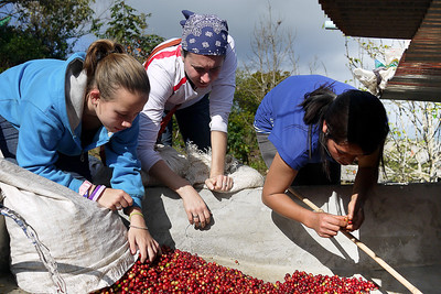Ana, Eva, and Lee's sister pick through the coffee cherries. Maejantai village, north of Chiang Mai, Thailand.