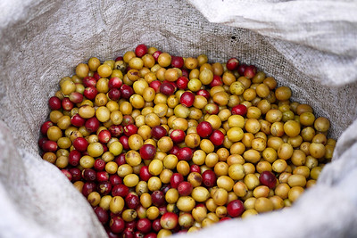 Ripe red and yellow coffee cherries from the Akha Ama coffee fields in Thailand.