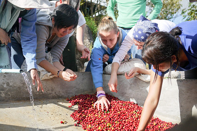 Sorting and picking through to find the bad/unripe coffee cherries.