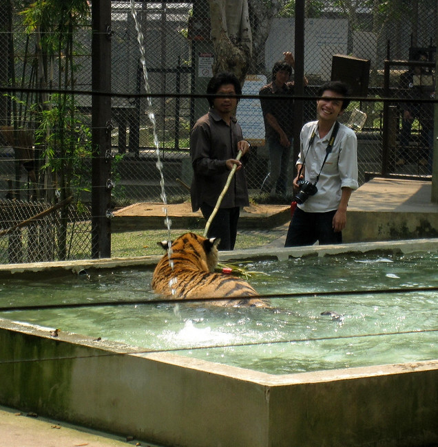 Evidence that the tigers at Tiger Kingdom are not drugged.