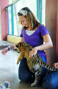 The tiny baby tiger crawling and jumping around in my lap.