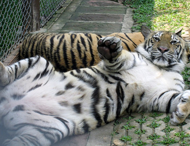 This gentle and fully grown tiger apparently wanted a hug. :)