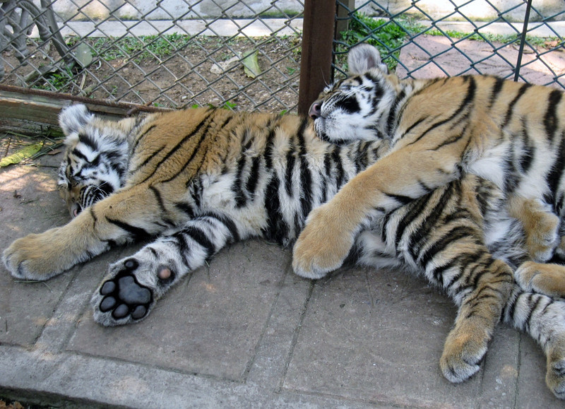 The medium tigers were the lazy tigers.
