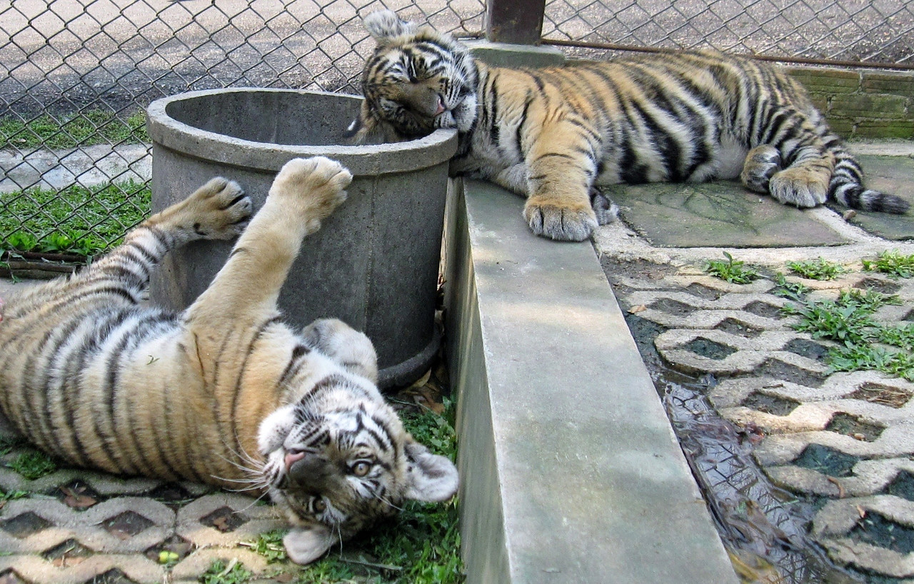 Playful medium tigers.