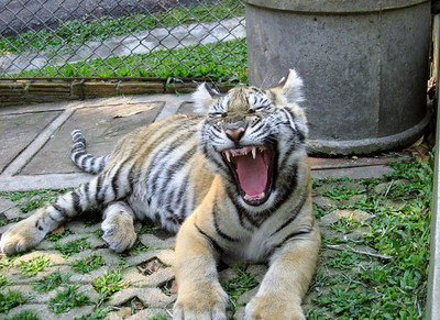 Medium sized tiger yawning, not screaming, at tiger kingdom.