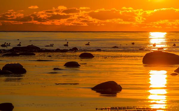 Badende svaner ved Håtangen