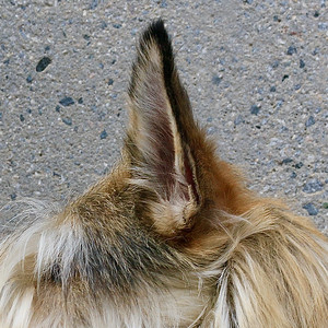 Ears side shot 2