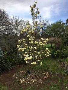 Yellow magnolia, Queen Elizabeth