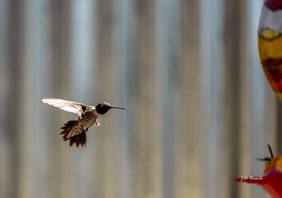 On a Mission - Male Hummingbird