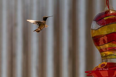 Feeding Time - Male Hummingbird