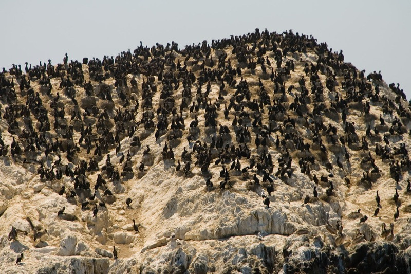 Lots of birds on a rock