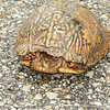 Day 3: I always move turtles off the road.  It's good karma.  This guy is giving me the stink eye for it, though.  WTF, turtle?